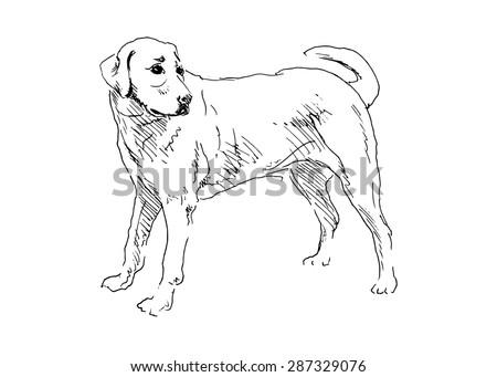 hand drawing labrador