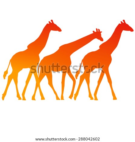 three colofrul giraffes