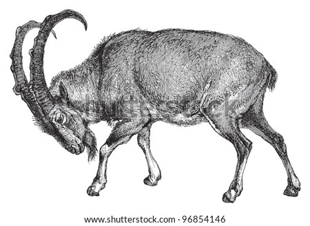 wild goat  capra aegagrus