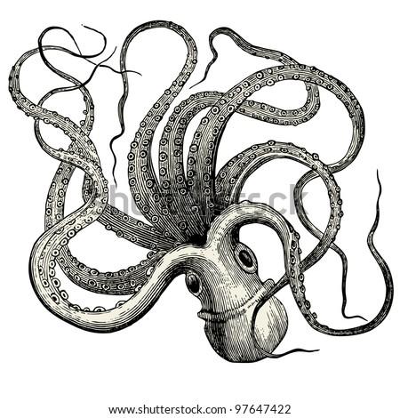 octopus  octopus vulgaris