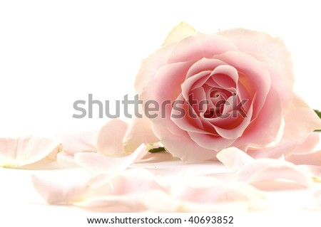 A background of pink rose and petals - stock photo