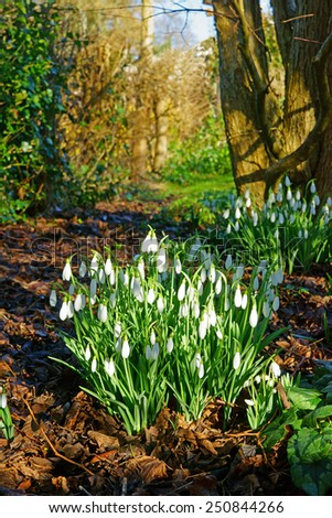 A beautiful group of Snow drops (Galanthus nivalis) in a Cotswold country garden, Gloucestershire, United Kingdom