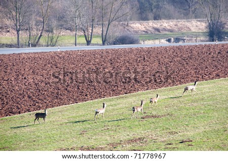 A bevy of deer grazing in a meadow near the road. - stock photo