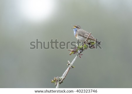 A blue-throat bird (Luscinia svecica cyanecula) singing to attract a female during breeding season in Springtime - stock photo