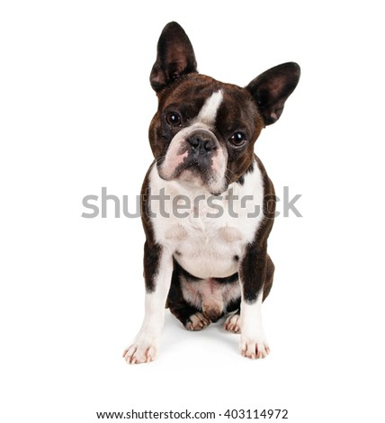 a boston terrier looking up at the camera in studio isolated on a white background