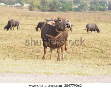 a buffalo looking and calling  for it's calf  the field, Thailand - stock photo