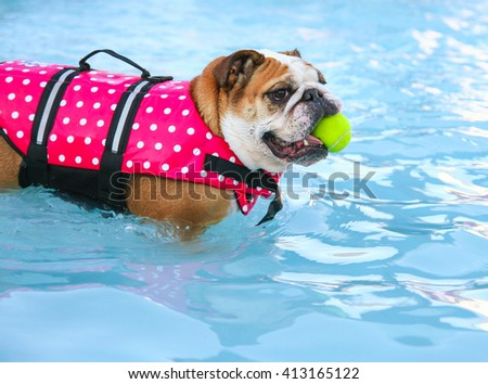 a bulldog in a pink polka dot life vest chewing on a tennis ball having fun at a local public pool  - stock photo