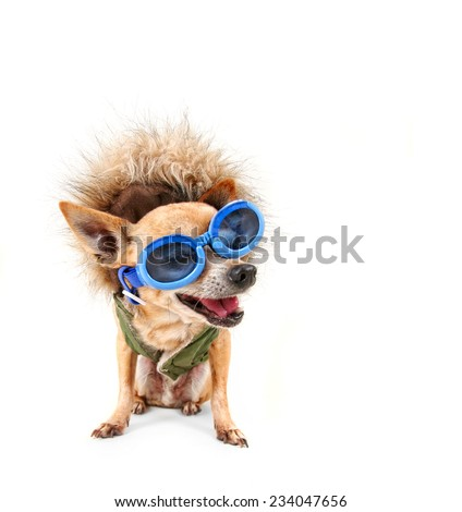 a chihuahua with a furry coat and goggles - stock photo