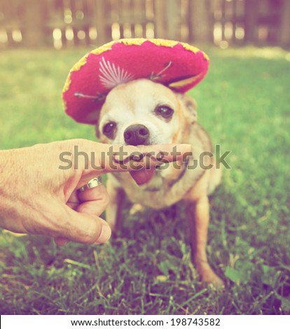 a chihuahua with a sombrero hat on sitting in the grass done with a retro vintage instagram filter  - stock photo