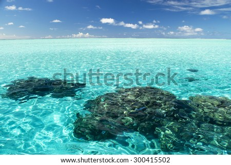 A coral garden in the lagoon of Bora Bora, French Polynesia  - stock photo
