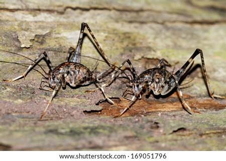 A cricket on tree - stock photo