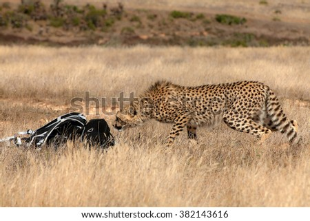 A curious cheetah investigating a tourists rucksack