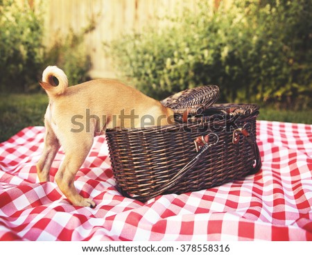 a cute baby pug chihuahua mix puppy looking into a wicker picnic basket and licking her face during summer maybe on the 4th of july holiday toned with a retro vintage instagram filter app or action - stock photo