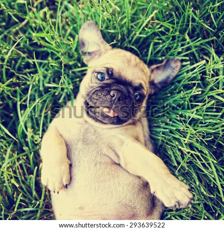 a cute baby pug chihuahua mix puppy playing in the grassy clover during summer toned with a retro vintage instagram filter app or action effect - stock photo