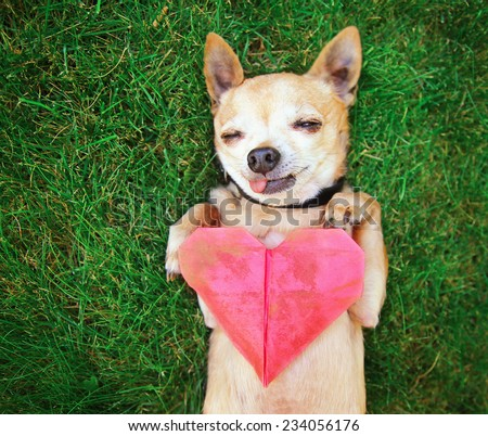 a cute chihuahua holding an origami paper heart (focus in on the paw and heart) shallow DOF  - stock photo