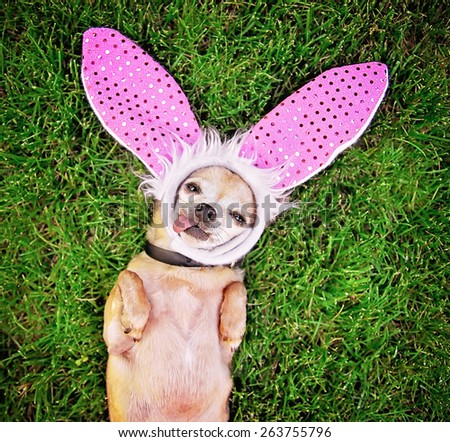 a cute chihuahua laying in the grass with his tongue out and bunny ears on laying in the grass - stock photo