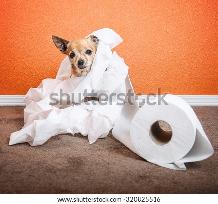 a cute chihuahua playing in a roll of toilet paper  - stock photo