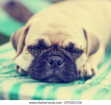 a cute chihuahua pug mix puppy (chug) sleeping on a pool chair in a backyard during summer toned with a retro vintage instagram app or action effect  - stock photo