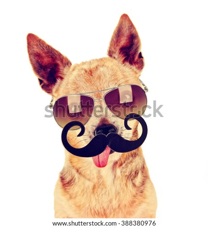 a cute chihuahua with a sunglasses on and a mustache in front of him with his tongue out on an isolated white background toned with a retro vintage filter instagram app or action effect  - stock photo