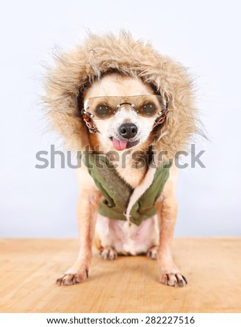 a cute chihuahua with a winter coat and glasses on  - stock photo
