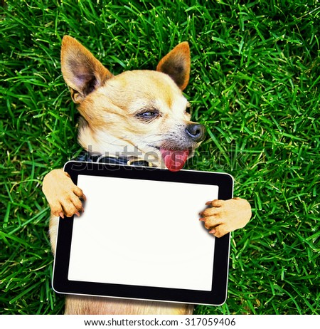 a cute chihuahua with his paws in the air on green grass - stock photo