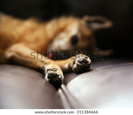 a cute chihuahua with his tongue sticking out napping on a leather couch (VERY SHALLOW DOF) on paw tip - stock photo