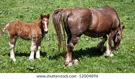 A cute colt beside its mother. - stock photo