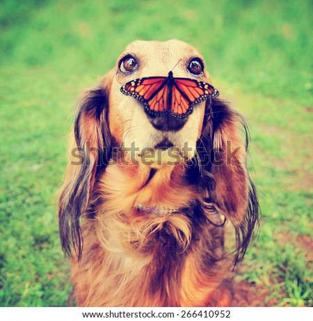 a cute dachshund at a local public park with a butterfly on his or her nose toned with a retro vintage instagram filter effect app or action - stock photo