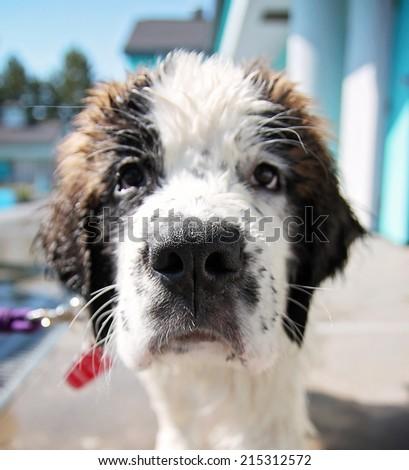 a cute dog at a local public pool  - stock photo