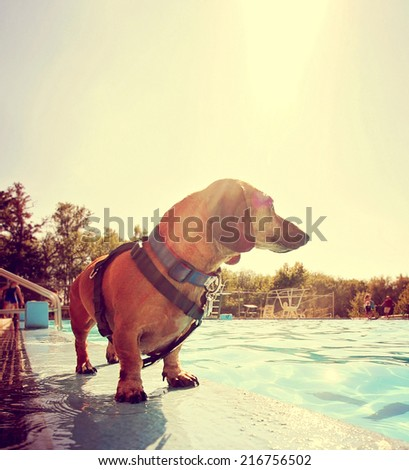 a cute dog at a local public pool toned with a retro vintage instagram filter effect and back lit by the summer sun creating a soft focus  - stock photo