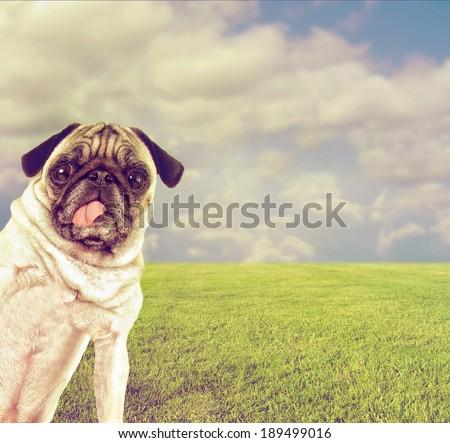 a cute pug at a local park  - stock photo