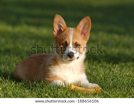 a cute welsh corgi puppy looks at the camera                         - stock photo