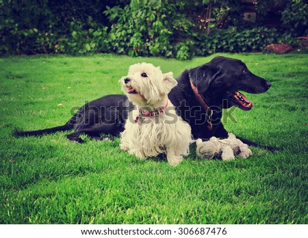 a cute west highland terrier puppy dog that has been groomed sitting with an old black labrador retriever in a park setting toned with a retro vintage instagram filter effect app or action  - stock photo