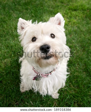 a cute westie - west highland terrier - at a local park or backyard - stock photo