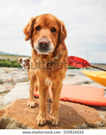 a dog enjoying the outdoors on a beautiful summer day with people kayaking in the river  - stock photo