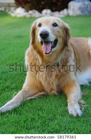 a dog golden retriver on the glass field - stock photo
