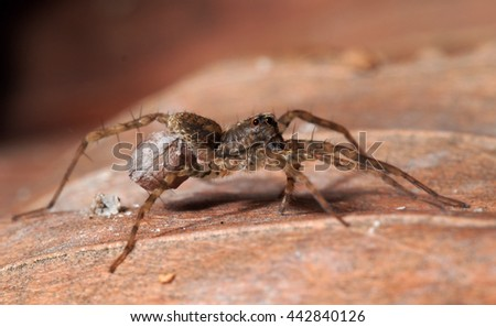 A female wolf spider (Pardosa sp.) carrying an egg sac - stock photo