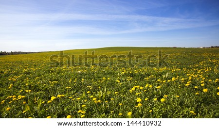 a field on which a large number of dandelions grows. height - stock photo