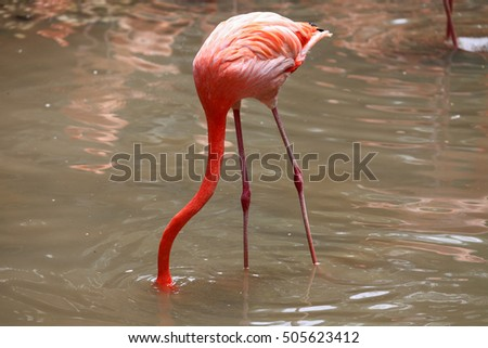 A flamingo put his head into water