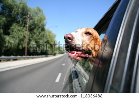 a funny basset hound with her head out of a car window and tongue out - stock photo