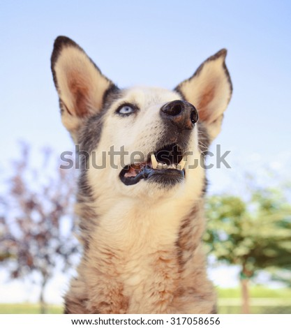 a funny husky on a bright background in a park or backyard  - stock photo