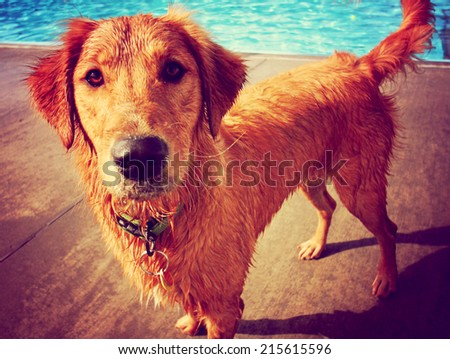 a golden retriever at a local public swimming pool toned with a retro vintage instagram filter effect  - stock photo