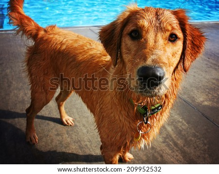 a golden retriever swimming at a local pool  - stock photo