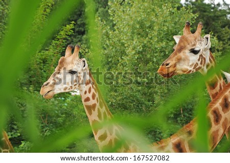 A group of giraffes in green forest - Close up Portrait - stock photo