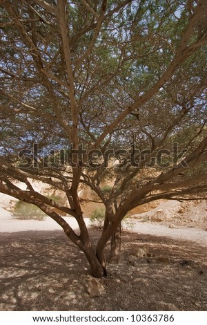 A hardy tree in droughty mountains near to the Dead Sea