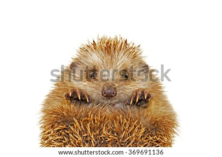 A hedgehog in the white background, filmed in the studio