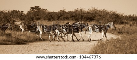 A herd / group of Burchell zebra crossing a road. Taken in monochrome colourless tone for impact.Taken in Addo elephant national park,eastern cape,south africa - stock photo