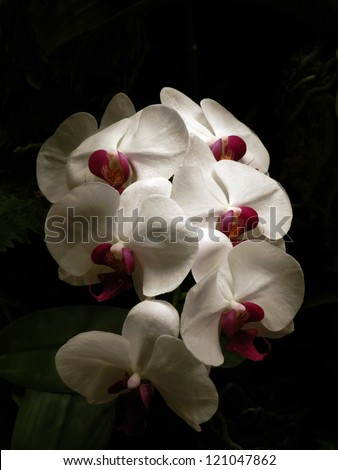 a kind of orchid, called phalaenopsis