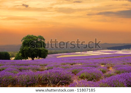 a lavender field at sunset
