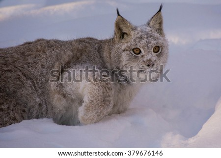 A lynx kid, Eurasian lynx (Lynx lynx). A lynx child playing in the snow. - stock photo